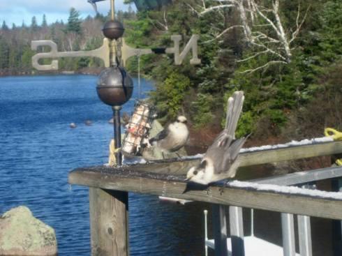 Pair of Gray Jay birds