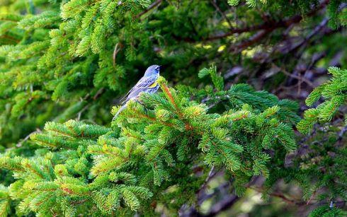 blueyellowbird