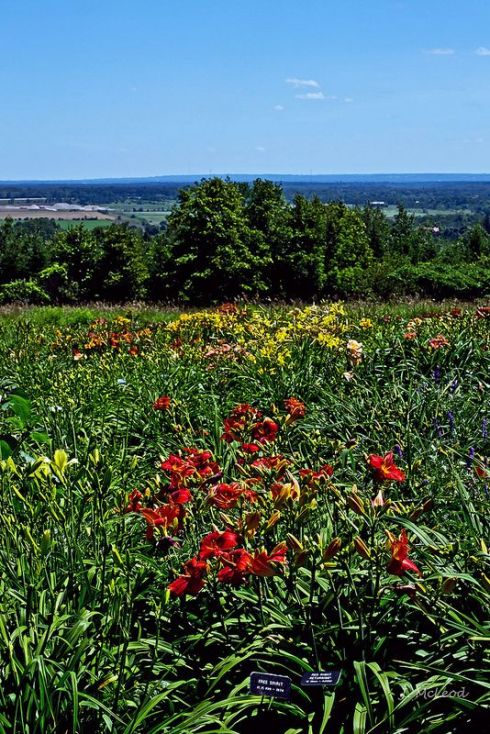 day lily farm