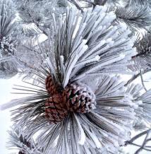 winter pine cones